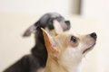 犬の耳血腫について…の画像