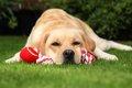 犬がおもちゃにすぐ…の画像