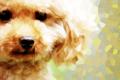 トイプードルの毛色…の画像