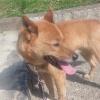 コワモテ中型雑種犬…の画像