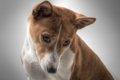 犬のドライアイが増…の画像