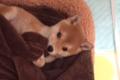 柴犬のかわいい動画3…の画像