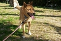 引っ張り癖のある犬…の画像