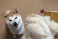 柴犬の抜け毛対策し…の画像
