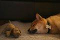 犬のリラックスポジ…の画像