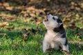 犬がアウアウ鳴くと…の画像