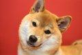 柴犬は小型犬?中型…の画像