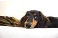 鼠径ヘルニアは子犬…の画像