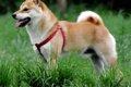 柴犬の魅力!美しい…の画像