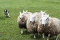 【頭良い!】羊を操…の画像