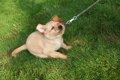 犬が散歩を嫌がる!…の画像