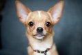 チワワの耳は立って…の画像