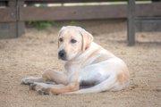 過酷な環境で生きた犬。飼育放棄されたお隣のラブラドール。
