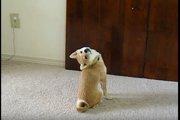なぜそんな体勢に!?変わった方法で後ろを見る柴犬さん