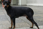 トイマンチェスターテリアってどんな犬?その性格や特徴、飼い方について