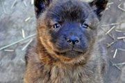 甲斐犬の性格や特徴と飼い方しつけ方について