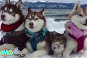 ハスキーに育てられた仔猫、本当の家族のような姿に感動!(まとめ)