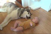 【癒し】仕方なさそうに赤ちゃんの相手をしてあげるハスキーが可愛すぎるw(まとめ)
