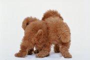 ポメプー(ミックス犬)の知っておきたい性格や飼い方