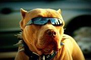 犬のおもしろ画像集。サングラスをかけたわんこたち(まとめ)
