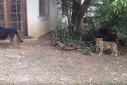 「ビックリしたワン!」子ライオンが近づいても気づかないワンコ