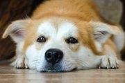 犬が仮病をつかう3つのタイミングと見極め方