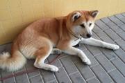 病院で飼い主を待ち続けた秋田犬『マヤ』〜スペイン版忠犬ハチ公物語〜