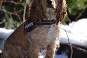 コッカプーは魅力満点のミックス犬!