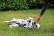 犬の人気芸の教え方!バーンやバイバイなど