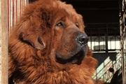 チベタンマスティフは超大型犬!その値段なんと2億円!!