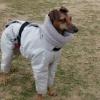 寒がりなイタリアングレーハウンドにはイタグレ最強スーツ!