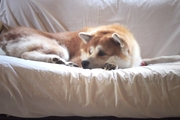 飛びつき&スキップ!大きな秋田犬のお出迎えが微笑ましい!(動画)