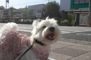 犬の生理の期間はいつまで?症状や痛みについて