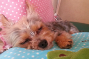 ヨープーはとっても可愛いミックス犬!性格や特徴