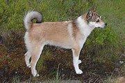 超珍犬『ノルウェジアン・パフィン・ドッグ』を知っていますか?