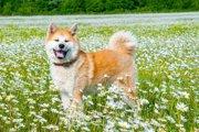 柴犬・秋田犬だけじゃない!日本原産のワンちゃん11種