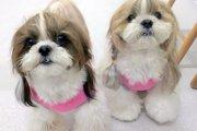 シーズー犬の性格や特徴