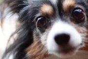 目が大きな犬種や老犬わんちゃんは特に気をつけて!とても怖い角膜穿孔