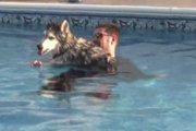 後ろ足が不自由なハスキー犬に飼い主の愛が起こした「奇跡」(まとめ)