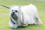 ラサ・アプソってどんな犬?特徴や性格、飼い方からしつけまで!