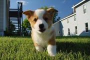 犬のケンネルコフ(伝染性気管気管支炎)の症状の特徴や治療薬について