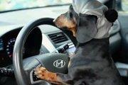 コメディー動画!勝手に鍵を持ちだして車の運転を試みる犬