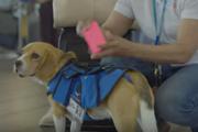 航空会社に入社したビーグルのシャーロック「これがボクのお仕事だワン!」
