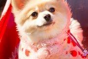 ポメラニアンの子犬!その魅力について