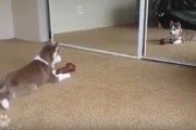 エンドレスで遊べる!鏡に映った自分に威嚇し続けるハスキーの子犬