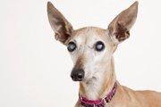 白内障だけではない!犬の目が白くなる5つの病気