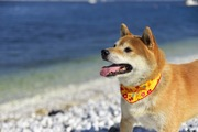 柴犬がかかりやすい耳の病気について