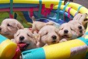 ぬいぐるみみたい!ゴールデンレトリーバーの子犬たちが可愛すぎ!