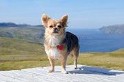 犬の鑑札、きちんとわんちゃんにつけていますか?