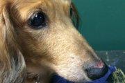 愛犬の血流障害とリハビリ生活。3本足のダックス「マロン」の選択